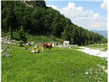 Vogel-Šija-Rodicapo dolgi zimi ozelenela planina že nudi sočno pašo