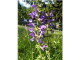 Navadna ali travniška kadulja (Salvia pratensis)