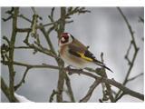 Hranjenje pticLišček