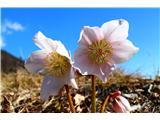 Cvetoči telohi na Blegošu