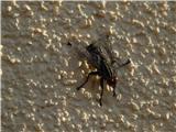 Domača muha (Musca domestica)
