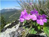 Primula villosa