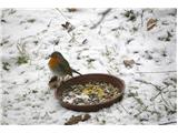 Hranjenje pticTaščica