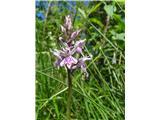 Fuchsova prstasta kukavica (Dactylorhiza fuchsii)
