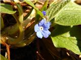 Spomladanska torilnica (Omphalodes verna)