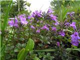 Calamantha alpina
