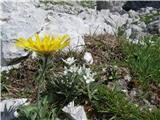Briceljkcvetje