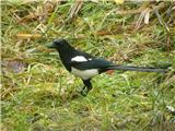 Hranjenje pticDanašnje deževje je na vrt prineslo tudi Srako