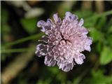 Poljski grintavec (Scabiosa triandra)