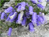 Zois' bellflower (Campanula zoysii)