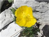 Katera rožca je to?Kernerjev mak - Savinjsko sedlo KSA