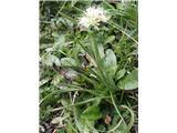 Katera rožca je to?Rumenkasti luk (Allium ericetorum)