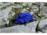 Katera rožca je to?Če bi bila pomlad, bi napisala spomladanski svišč, tako pa... ? - verjetno bavarski