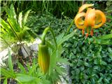Golden Apple (Lilium carniolicum)