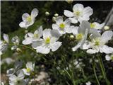 Platanolistna zlatica (Ranunculus platanifolius)