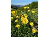 Gorska zlatica (Ranunculus montanus)