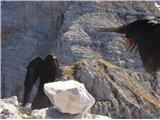 VernarKavke na vrhu Vernarja se prepirajo za hrano, ki jo dobijo na mizo