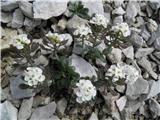 Scopolijev repnjak (Arabis scopoliana)