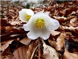 V dolini se že pomladno nasmihajo spogledljivci
