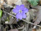 Navadni jetrnik (Hepatica nobilis)