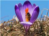 Katera rožca je to?Spomladanski žafran in čebelica Maja