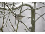 Hranjenje pticKo zapade sneg se približa hiši, prej je višje v gozdu