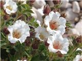 Katera rožca je to?Clusijev petoprstnik