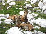 mlada kozorogova kozla
