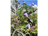 Planinski srobot (Clematis alpina)