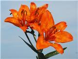 Katera rožca je to?Brstična lilija s tremi odprtimi cvetovi