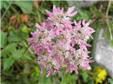 Rožnordeči ali avstrijski dežen (Heracleum austriacum subsp. siifolium)