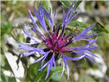 Mountain Bluets (Centaurea montana)
