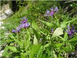 Triumfettijev glavinec (Centaurea triumfettii)