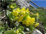 Lepi jeglič ali avrikelj (Primula auricula)