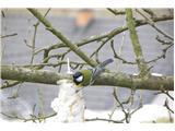 Hranjenje pticVelika sinica