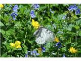 Črna prstOb toliko cvetja tudi metulji pridejo na svoj račun... črni apolon