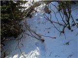 Krasji vrhmalo nad Snežno jamo je gaz zavila skozi grmovje