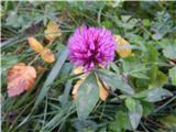 ZelenicaNekaj rožic še vedno cveti