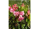 Dlakavi sleč (Rhododendron hirsutum)