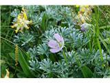 Črna prstSrebrna krvomočnica tudi že cveti