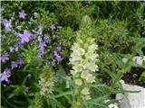 Šopasta zvončica (Campanula thyrsoides)
