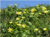 Lopatičasta zlatica (Ranunculus ficaria)