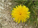 Navadni jajčar ali navadni otavčič (Leontodon hispidus)