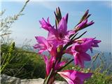 Katera rožca je to?Divja gladiola prav nič ne zaostaja za lepotami... ilirski meček je njeno ime