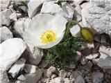 Katera rožca je to?Kateri mak bi lahko bil? fotografirano pod Planiko