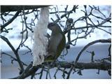 Hranjenje pticSiva žolna