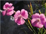 Katera rožca je to?Divji klinček fotografiran proti soncu