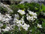 Alpski repnjak (Arabis alpina)