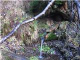 KomenIzvir v gozdu