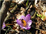 Pomladanski žafran (Crocus vernus)